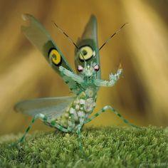 Pseudocreobotra ocellata, Spiny Flower Mantis by ~Bullter on deviantART