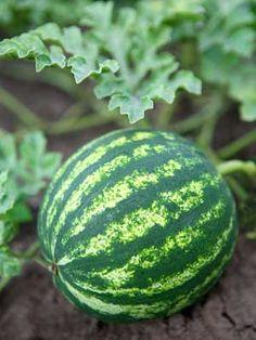 Garden Planner - Plant GrowGuide for Watermelon How To Grow Watermelon, Gardening For Beginners, Gardening Tips, Natural Farming, Home Grown Vegetables, Veggies, Garden Planner, Plant Information, Vegetables Garden