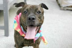 10/11/16 RETURN FROM FOSTER HOME SUPER URGENT Manhattan Center My name is SAMSON. My Animal ID # is A1087796. ***RETURNED FROM ACC FOSTER CARE*** I am a male br brindle pit bull mix. The shelter thinks I am about 2 YEARS, 1 MONTH old. I came in the shelter as a RETURN on 09/10/2016 from NY 11220, owner surrender reason stated was PET HEALTH.