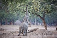 Mana Pools National Park in Zimbabwe is a magical place. This bull elephant tries to reach the acacia tree. It's very typical for this area. Bull Elephant, African Safari, Zimbabwe, Acacia, Pools, National Parks, Wildlife, Adventure, Animals