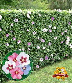 Fast-growing hedges for individual garden design: care tips Balcony Plants, Balcony Garden, Outdoor Plants, Garden Plants, Outdoor Gardens, Fast Growing Hedge, Natural Fence, Rose Trees, Backyard Garden Design