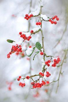 raspberrytart:    Snow berries by Jacky Parker Floral Art on Flickr.