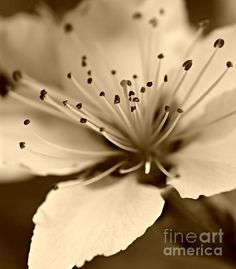 Explosion - photograph by Clare Bevan  @cnb74 #clarebevan #peachblossom #macro