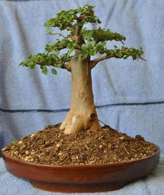 10 Bonsai Hornbeam Ideas Bonsai Bonsai Plants Bonsai Tree