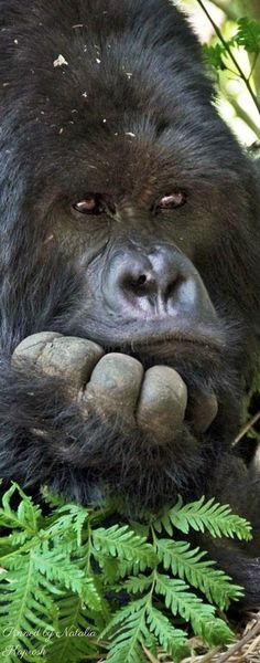 Gorilla...love that face!