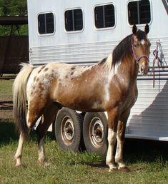 Tennessee Walking Horses - CLOUD 9 WALKERS (Walkaloosa Gelding) - Pinto Appaloosa markings: Tobiano, Leopard Spots. |Pinned from PinTo for iPad|