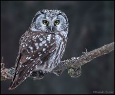 owl pictures | Boreal Owl, Aegolius funereus, alert and up close | Nature Notes
