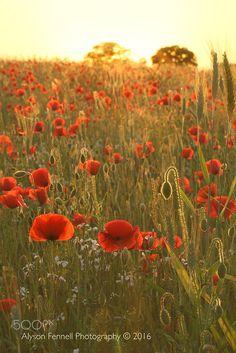 Poppy Field Portrait - Poppy field sunset.