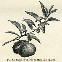 fruiting branch of  mandarin orange, vintage orange clip art, black and white graphics, oranges and leaves, botanical fruit image