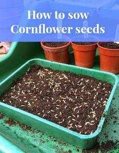 How to Sow Cornflower Seeds | Garden, Tea, Cakes and Me #GardeningTips #Gardening #Seeds #Flowers