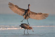 The Ambush | Reddish Egret (egretta rufescens) I was photogr… | Flickr