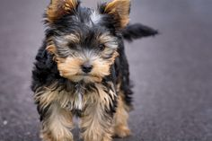Puppy Yorkshire Terrier | picmelon