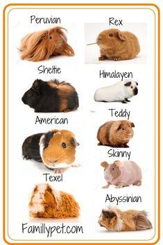 Diy Guinea Pig Cage, Guinea Pig Food, Guinea Pig House, Baby Guinea Pigs, Guinea Pig Care, Baby Pigs, Diy Guinea Pig Toys, Guinea Pig Clothes, Guinea Pig Hutch