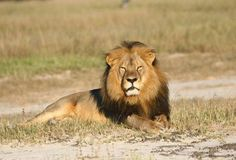 A guide is charged with poaching after helping an American dentist hunt down Cecil, a lion pictured here in Hwange, Zimbabwe. - Andy Loveridge/AP