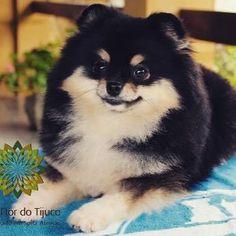 Flor do Tijuco Cindy Bear. Minha black and tan mais fofa do mundo!!! #canilflordotijuco #lulu #luludapomerania #spitz #spitzalemao #spitzalemaoanao #pomeranian #pomeranian #blackandtanpomeranian #blackandtan #tinydogs #pet #pets #poms #dogphotography #dogsofinstagram #dog #dogoftheday #petstagram #mydog #mypet #mypom #mylove #cindybear #cão #cute #cutedog #cutepet #ohmydog #petstagram Image By: canilflordotijuco