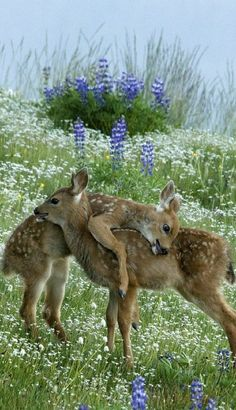Two black tailed fawns playing in Olympic National Park, Washington. By Mary Campbell.