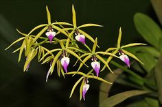 Brassia, the Spider Orchid FOLLOW THIS BOARD FOR GREAT PINS OF BEAUTIFUL FLOWERS..
