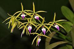 Brassia, the Spider Orchid