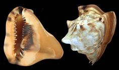 nice specimen of King Helmet Cassis tuberosa F+++,  L= 151mm x 147mm SW Dominican Republic, .jpg (1024×607)