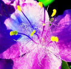 kwiat niebios