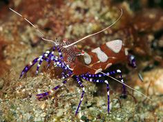 Periclimenes yucatanicus | Spotted Cleaner Shrimp (Periclimenes yucatanicus)