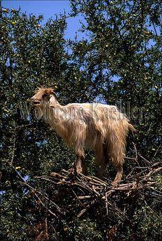 10052087 -    Morocco, near essaouira, goat in argan tree, close up...
