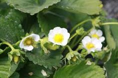 Image result for strawberry plants