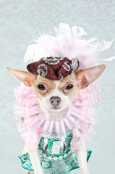 Pet Designer Anthony Rubio in collaboration with photographer Sophie Gamand have dspicted Chihuahuas, in this case celebripup Bogie, as super models showing that pet fashion has never looked this good see : www.AnthonyRubioD... and strikingpaws.com/...