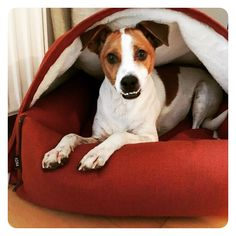 Just Adorbs! Beppo (rescue Jack Russell from Spain) living in Berg, Germany loving <3 his Kona Cave Snuggle Cave Bed. Beppo's mom is a renowned Interior Designer whose projects span from New York City to Europe. We are honored that stylish and succesful dog owners choose Kona Cave when they want the very best for their dogs. When you're a dog, it doesn't get better than this! Kona Cave makes smart, stylish and sophisticated dog beds that both you and your dog will love! <3, <3, <3