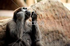 monkey wishful thinking - Monkey looking to sky doing wishful thinking.
