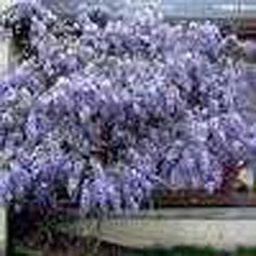 Wisteria sinensis 'Cooke's Purple' - Deer Resistant - Screen - Boething Treeland Farms