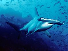 Following public outcry, Costa Rica temporarily blocks exports of hammerhead shark fins