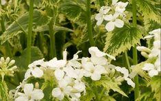 lunaria-annua-alba-variegata White Plants, Moon Garden, Elegant Flowers, White Gardens, Cool Plants, Garden Ideas, Gardening, Interior Design, Formal