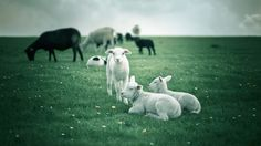 d minecraft cinema d renders sheep Lb Photo Realism Minecraft