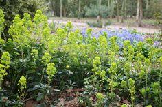 Euphorbia amygdaloides robbiae - ground cover in shade, flowers April-June May Garden, Garden Soil, Garden Care, Garden Plants, Gravel Garden, Gardening, Fast Growing Flowers, Dry Shade Plants, Garden Front Of House