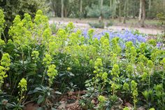 wood spurge Euphorbia amygdaloides var. 'robbiae': Position: partial shade Soil: moist, well-drained garden soil Rate of growth: fast growing Flowering period: April to June Hardiness: fully hardy