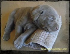 silver lab puppies | Call Today For Information & Reservations