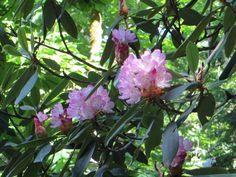 Mountain Rosebay, Found in Great Smoky Mountain National Park, TN