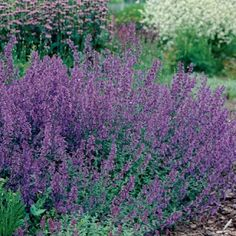 Catmint or Catnip    Height	24-36 inches tall  Estimated Mature Spread	24-36 inches wide  Deer Resistant, Hummingbirds & Butterflies, Fragrant, Cut Flowers, Borders Zones 4 - 9