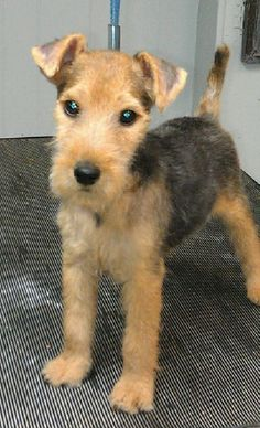 My Grandfather ( Bill Ridley) bred these terriers, in Helton Cumbria. Terrier Breeds, Terrier Dogs, Welsh Terrier, Airedale Terrier, Lakeland Terrier Puppies, I Love Dogs, Cute Dogs, Cute Dog Pictures, Wire Fox Terrier