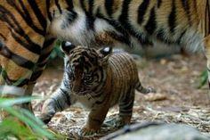 teeny tiger