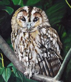 Tawny Owl - Limited Edition Mounted A3 print of beautiful Tawny owl by HeathersPortraits on Etsy