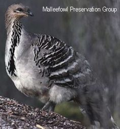 Tia is a Malle fowl from Australia and it is an omnivore