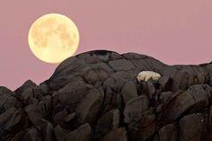 La luna piena illumina il cielo delle isole Svalabard, nel mar Glaciale  Artico, e un orso ne approfitta per riposarsi. Dal tramonto al calare  della notte, l'animale ha dormito arrampicato su una roccia. Lo scatto è  opera del giovane reporter italiano, Marco Gaiotto, in viaggio in un  isola
