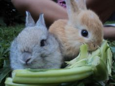 Got this pic from the daily bunny. My cousin's picture of scarlet and cooper our pet bunny. :
