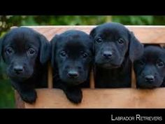 1581 Best I Love Black Labs ❤️ images in 2019 | Dogs
