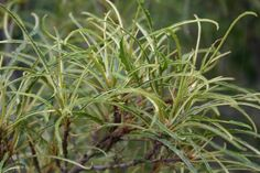 Farnblättriger Faulbaum 'Asplenifolia' - Rhamnus frangula 'Asplenifolia'