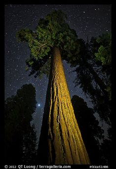Sequoia tree, planet, stars. Kings Canyon National Park, California, USA.