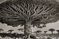 Dragon's blood tree, Dracaena cinnabari, Socotra, Yemen. Living for up to 500 years, these bizarre trees are unique to the island of Socotra Beautiful Dark Twisted Fantasy, Dark And Twisted, Tree Photography, White Photography, Contemporary Photography, Photoshop Photography, Photography Magazine, Outdoor Photography, Wildlife Photography