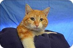 Visalia, CA - Domestic Shorthair. Meet Scott, a cat for adoption. http://www.adoptapet.com/pet/12530268-visalia-california-cat